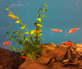 glofish in an aquarium with a plant