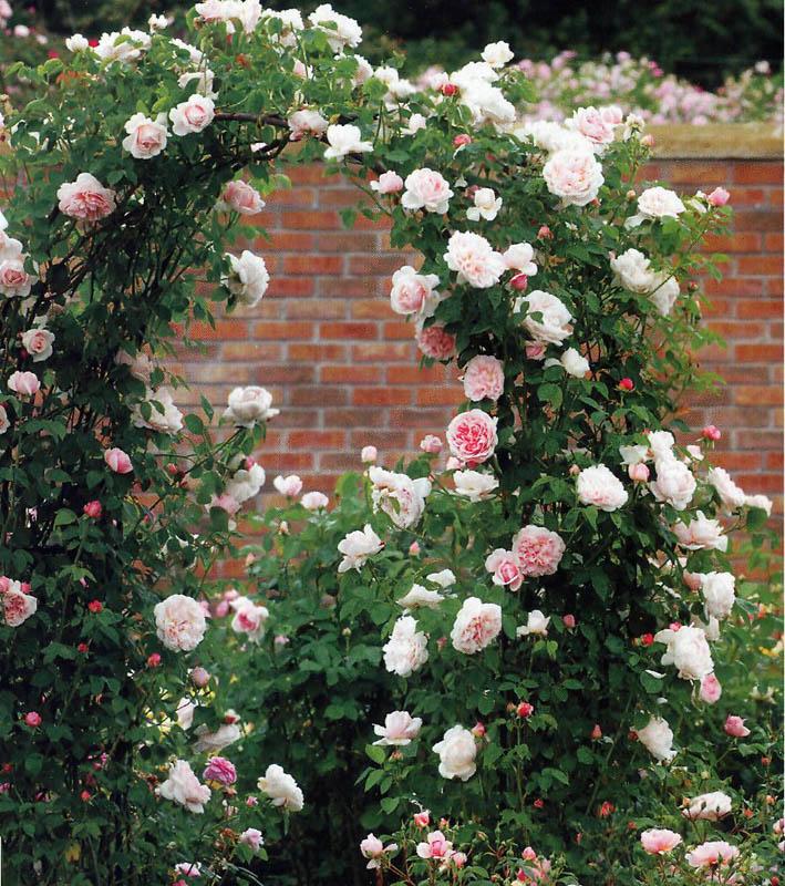 Когда можно сажать розу плетистую 550