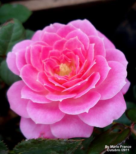 Populares Meu Cantinho Verde: MINI-ROSA - ( Rosa x chinenensis ) SD58