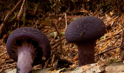A deep dark violet mushroom with a testured cap. Cortinarius violaceus, the Violet Cortinarius