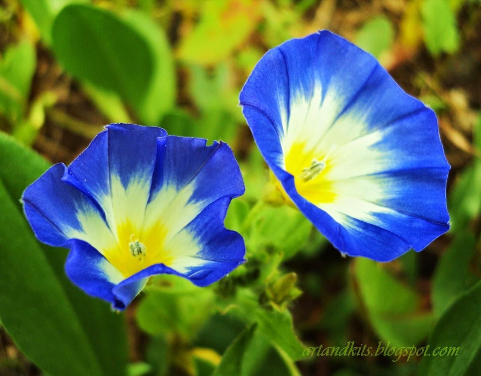 Hoje, deixo por aqui, a imagem de uma flor do campo, bastante comum por estes lados, da minha cor preferida. O seu nome... Bela-Manhã. / Today, I leave here an image of a wildflower, quite common, around here, of my favorite color. It is called... Morning Glory.