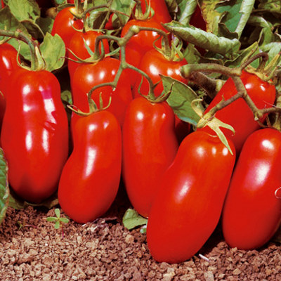 san marzano tomatoes adventures in gardening pohnpei micronesia. Black Bedroom Furniture Sets. Home Design Ideas