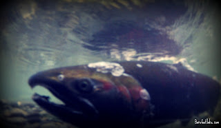 hoh rain forest salmon