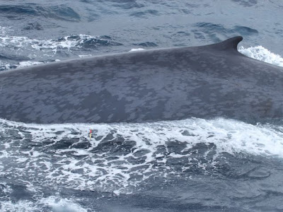 Expedición científica estudia con gran éxito la ballena azul en el Antártico