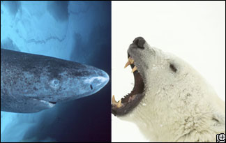 Shark Week vs  Bear We...