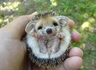 bebe de puercoespín