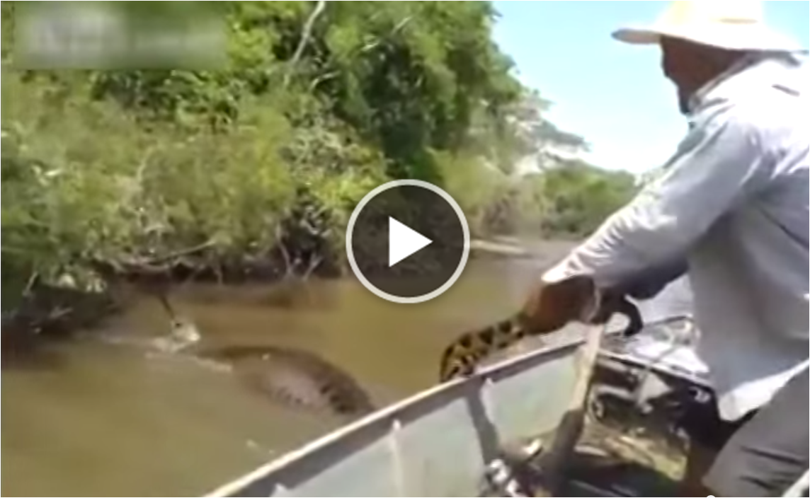 largest snake ever caught - photo #33
