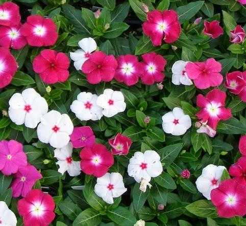 bunga vinca/privinkle/tanaman tapak dara