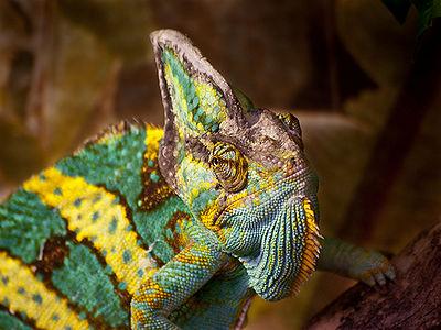 chameleon's long sticky tongue