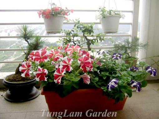 cách trồng hoa dạ yến thảo,  hạt hoa dạ yến thảo