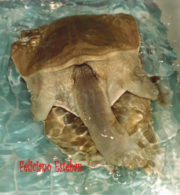 Pelodiscus sinensis copulando