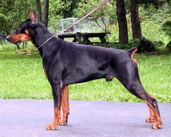 كلب دوبر مان مقطوع الذيل