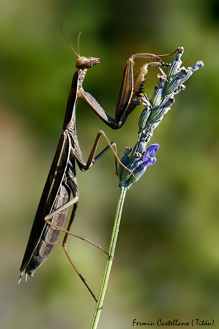 Mantis religiosa marrón