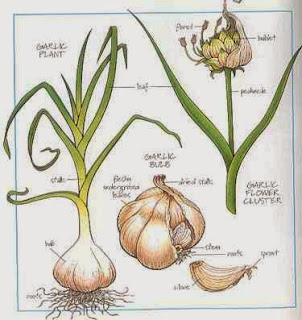 How to Start Garlic Farming Business