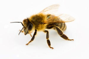 Racun lebah hancurkan HIV