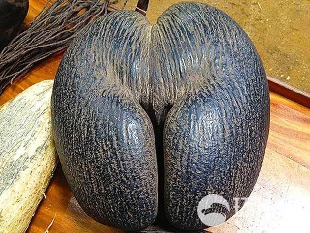 buah kepala laut mirip alam kelamin wanita