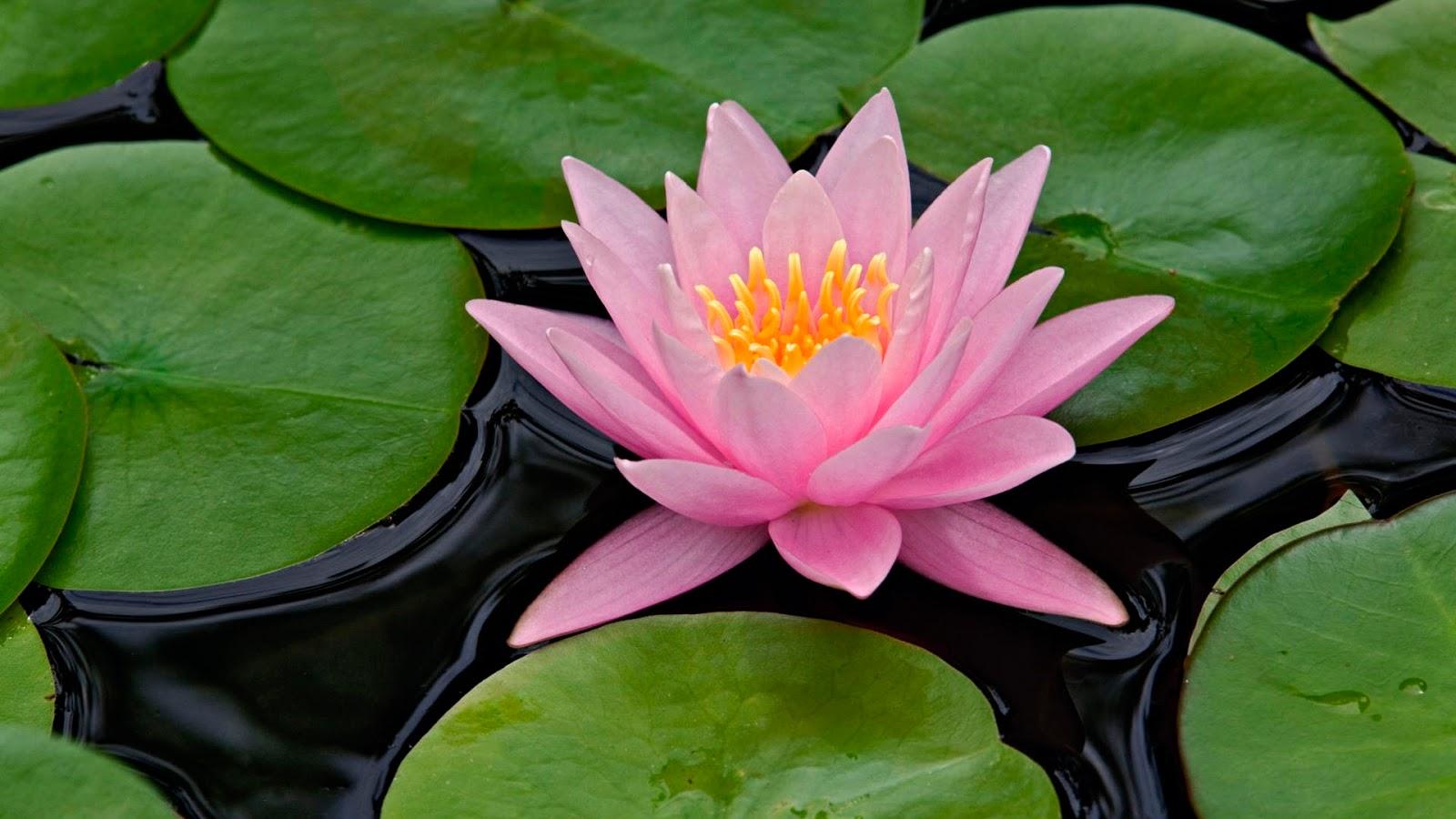 http://1.bp.blogspot.com/-e5lKdnDSMIc/T2CPIujtyVI/AAAAAAAAAuA/0Tbr2AxT6uU/s1600/LotusWallpaper.jpg