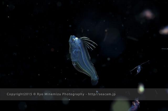ヒラメの稚魚