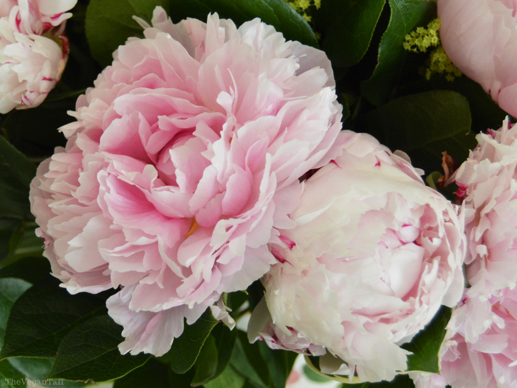 Serenata Delux Peonies Review