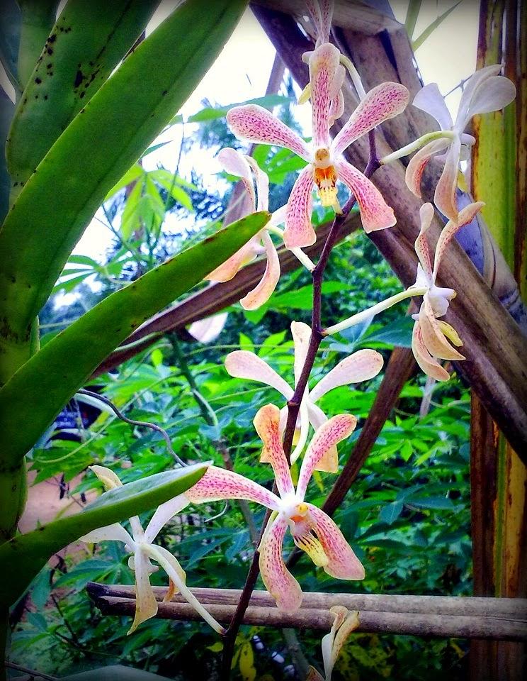 Bunga Orkid @ Anggerik Desa
