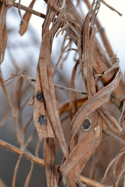 Black Blister Galls on a very tall goldenrod