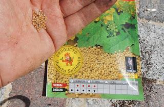 cultivar mostaza blanca en casa