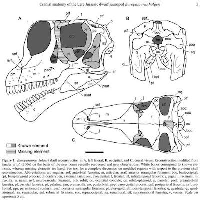 Europasaurus skull
