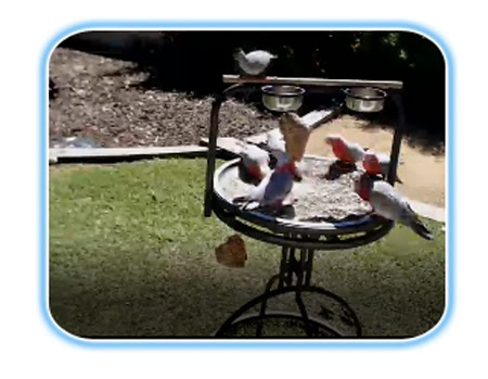 Backyard Galah Cam curiosity for birds: live bird feeders - as it happens!