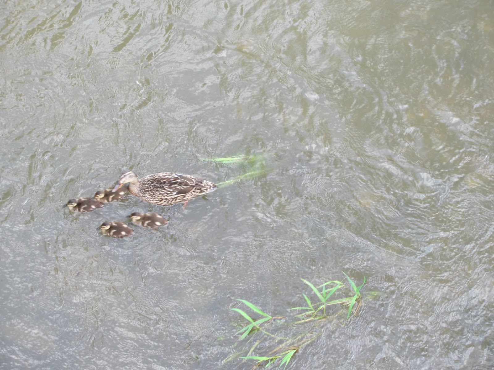 A mother duck and several ducklings are the subject of the last photo we took on our road trip in Coralville, Iowa