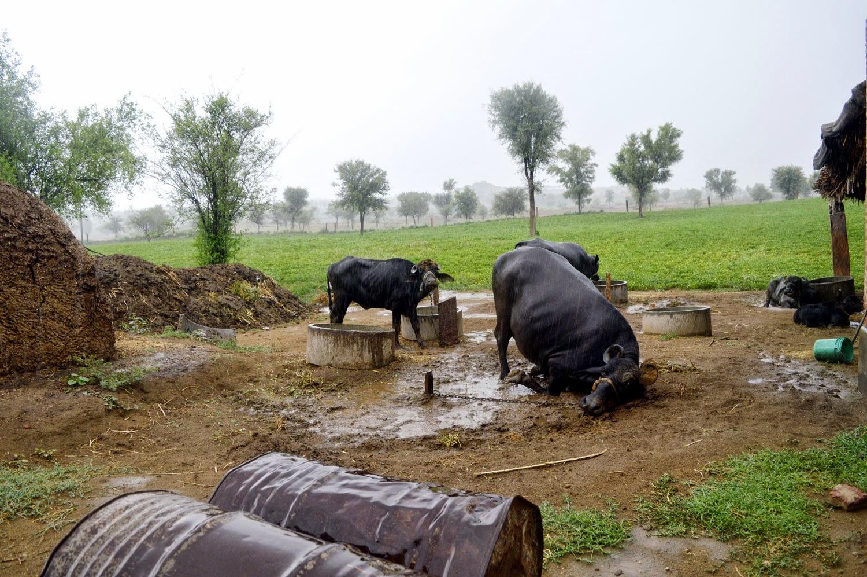 buffalo in rain