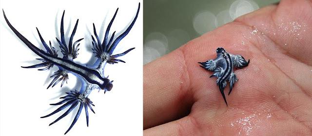 大西洋海神海蛞蝓