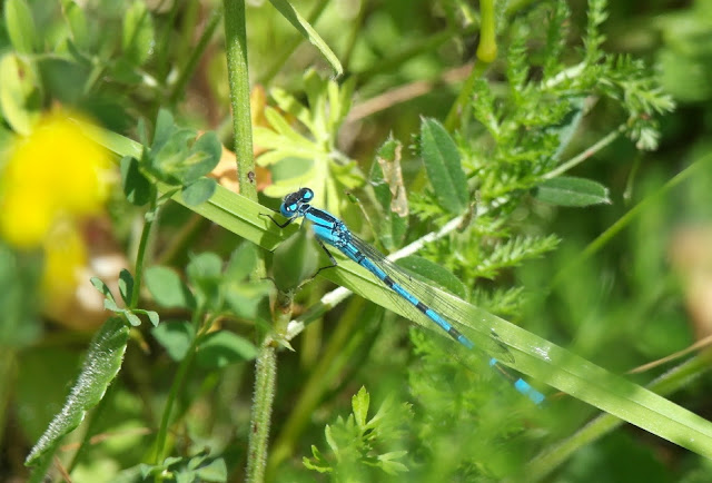 Damselfly College Lake Wildlife Reserve