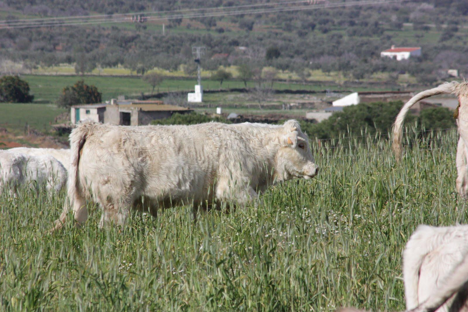 charol s trigo garc a animales de la ganaderia trigo garc a