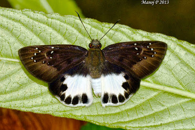 Water Snow Flat - Tagiades litigiosa Möschle skipper butterfly life cycle