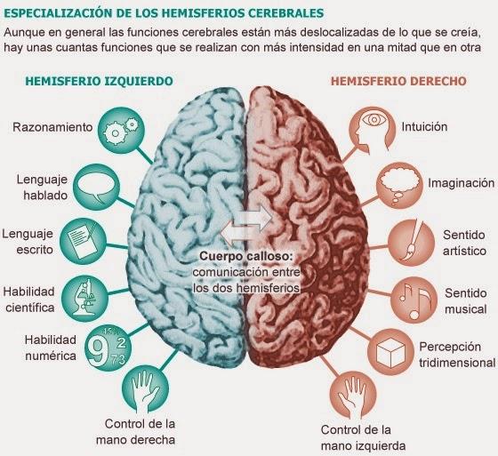 Lámina destacando ambos hemisferios, cuerpo calloso y caracteristicas detalladas de los hemisferios. Colores marrón y verde.