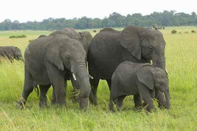 Contoh Descriptive Text Tentang Gajah (Elephants)