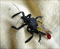 ugly black fly with red leaves for a tail