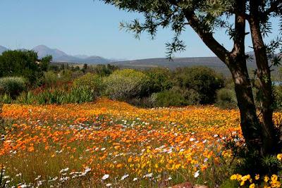 18-septiembre-2010-16-35-00-sudafrica-flores-silvestres_detalle_media ESTAS SON LAS FLORES DE SUDAFRICA