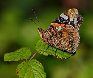 Foto macro de uma borboleta em cima de folhas de silva