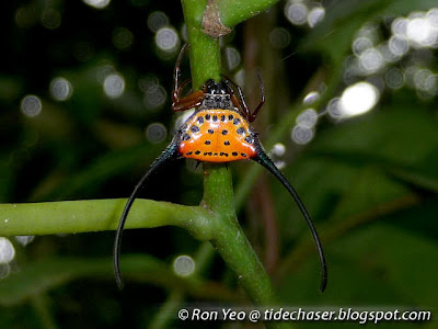 Curved Spiny Spider (Gasteracantha arcuata)