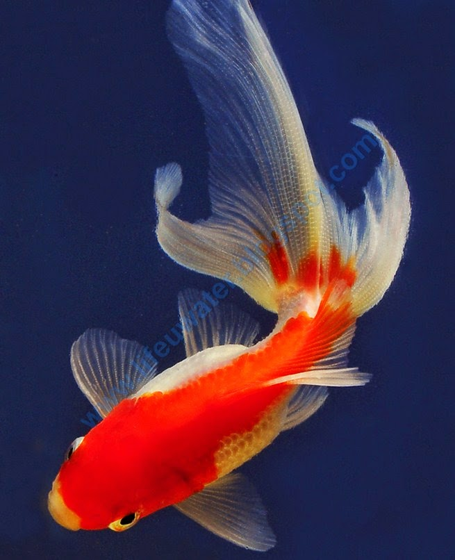 Red fantail goldfish lifespan - photo#1
