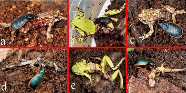 Cara Kumbang Memangsa Kodok