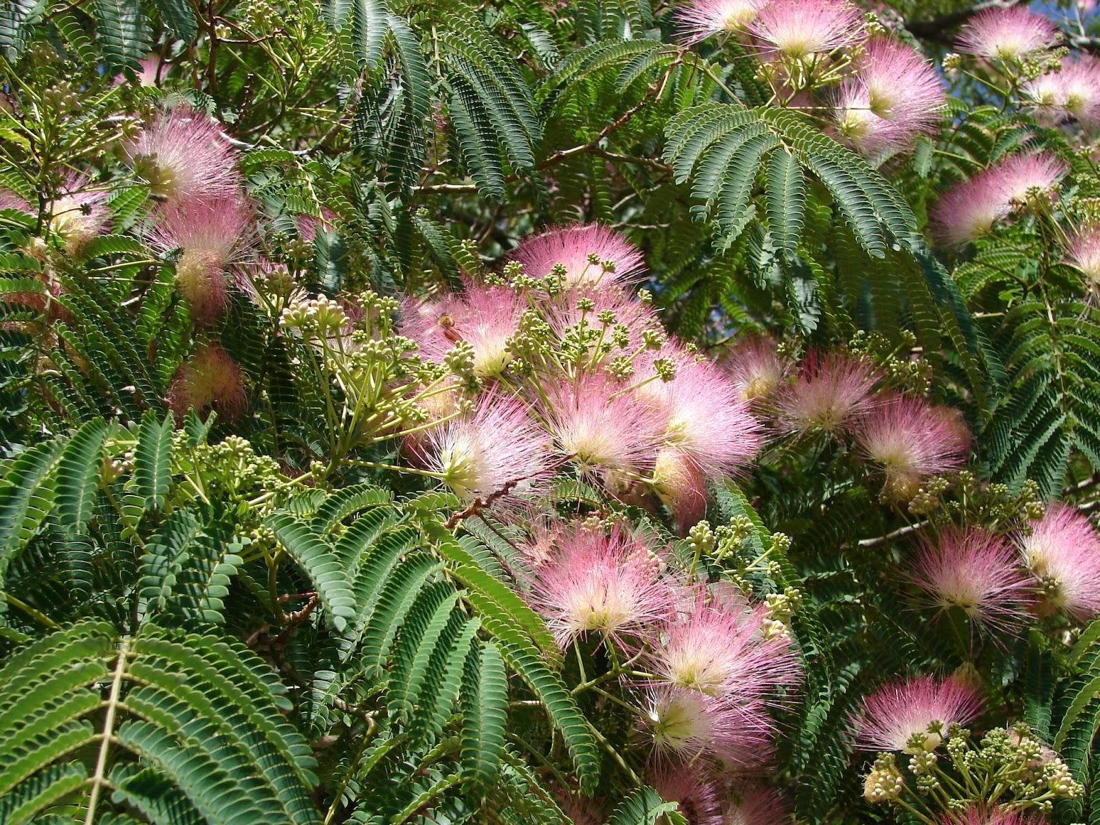 New Utah Gardener Mimosa Silk Tree A Waterwise Tree For Utah
