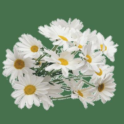 A sant Joan bacores, verdes o madures però segures