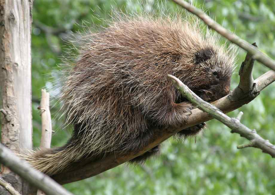 The Porcupine | Wild African Animal | The Wildlife
