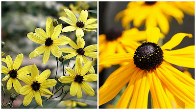 Yellow Perennials, Fall Perennials, Blooming Fall Plants, Hardy Perennials