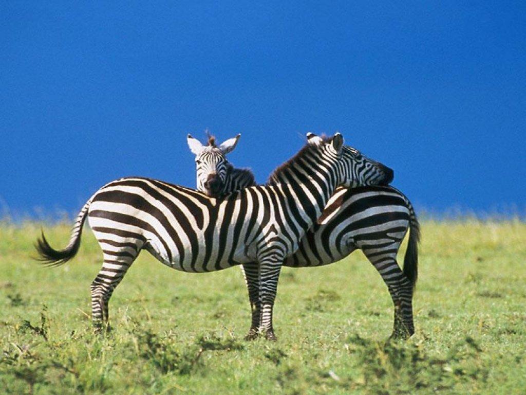 http://1.bp.blogspot.com/-eARk-PBgmYU/Tmv3c8KayVI/AAAAAAAAGT0/XE7yfL1eqJE/s1600/Zebra+wallpaper.jpg