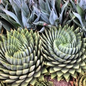Aloe polyphylla connu comme l'aloès spiralé
