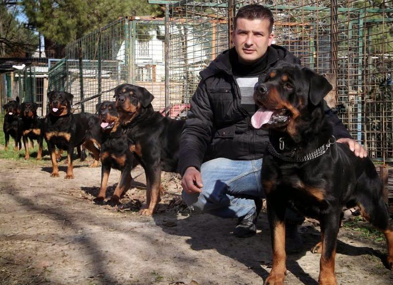 kralrot16 rottweiler ilanı