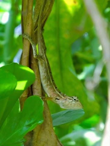 Ящерица-Мальдивы